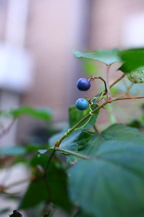ノブドウ  ブドウ科のツル性の落葉低木のノブドウ。夏に花が開花した後、秋に水色~青~紫色の実をつけます。その実の色合いはちょっとミステリアスな雰囲気。最近は花屋さんでも流通しています。園芸の鉢としては写真のようなグリーンの葉や、斑入り種などもあります。もともとは公園や空き地でも見かける、とても強い野草的な植物です。