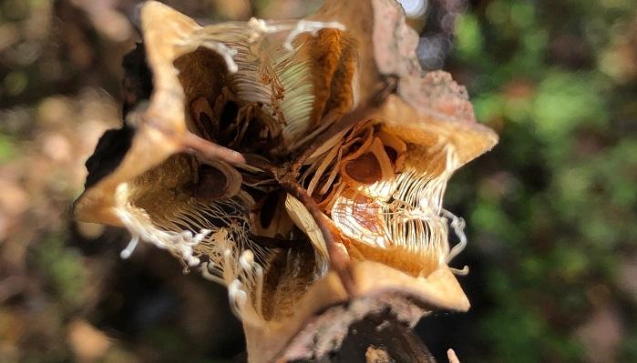 3つの部屋の中にたくさん入っているウバユリの種です。裂けたところは櫛のようになっていて風を受けると種が外に舞い上がります。