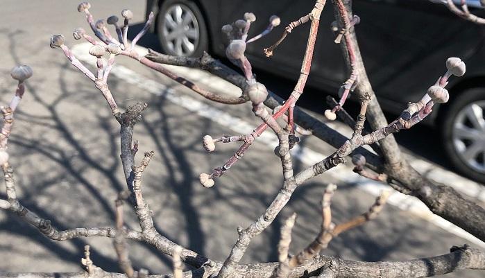 そして春に近づくと、玉ねぎや球根みたいな花芽をつけるのです。