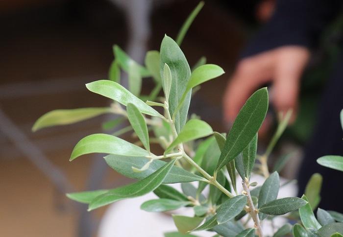 岡井先生「オリーブは切った場所のすぐ下の葉と同じ向きに枝を伸ばすので、切った後に出てくる枝の向きを考えて伸ばしたい向きの葉のすぐ上で切るといいですよ!」