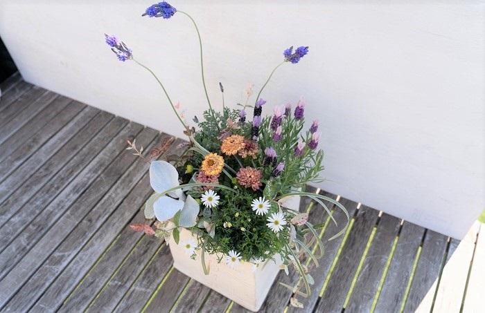 使っている植物:フレンチラベンダー、レースラベンダー、オステオスペルマム、ブラキカム、セネシオ、ミスキャンタス、ハツユキカズラ  ガーデニングシーズン本番の4~5月頃(春)には、ペチュニア、ラベンダー、オステオスペルマム、マーガレットなどの花苗がたくさん出回ります。気候も気持ちが良いので、ガーデニング初心者の方も寄せ植え作りを始めるのに最適な季節です。