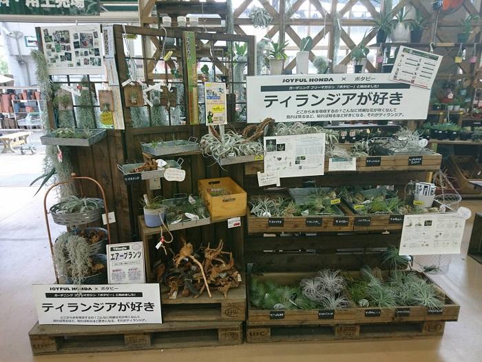 実は、ジョイフル本田の千葉ニュータウン店・宇都宮店・瑞穂店は、フリーペーパーBotapiiの設置店でもあります。  宇都宮店のBotapii10月号「#ティランジアが好き」では、この様なBotapiiブースを作り、植物の魅力をお客様にわかりやすいように伝えるための売り場展開に力を入れています。