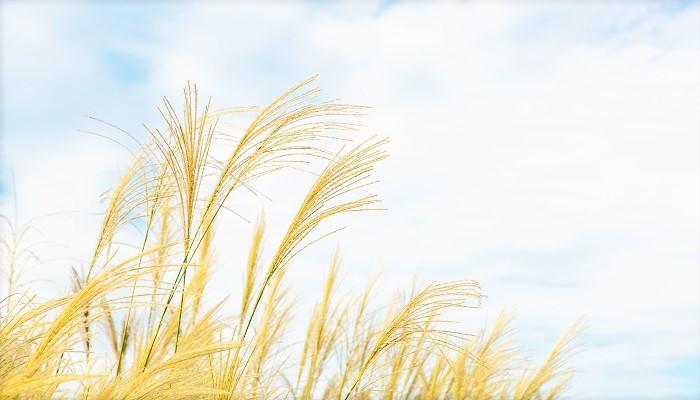 学名:Miscanthus sinensis  和名:尾花(おばな)、萱(かや)、茅(かや)  科名:イネ科ススキ属  分類:多年草  お月見には欠かせない、秋の代名詞のような草花であるススキ。秋の七草の一つでもあります。  尾花という名前は、ススキの穂の形状が動物の尾に似ているところから付いた名だと言われています。萱(かや)または茅(かや)は昔の呼び名です。かつてススキは、その穂で屋根を作る等、私たちの生活に密着した形で利用されていました。茅葺屋根(かやぶきやね)という言葉を聞いたことのある方も多いのではないでしょうか。  そんな日本の秋の代名詞のようなススキですが、実は丈夫で育てやすく、すっとした草姿から、海外のガーデナーの間でも人気の植物です!オーナメンタルグラスとして愛されています。  真直ぐに高く伸びた茎の先に、軽やかな穂を付けて風にそよぐ姿は、少し寂しくなり始めた秋のお庭の中で独特な存在感を放ちます。  この機会にススキの魅力を見直してみませんか。