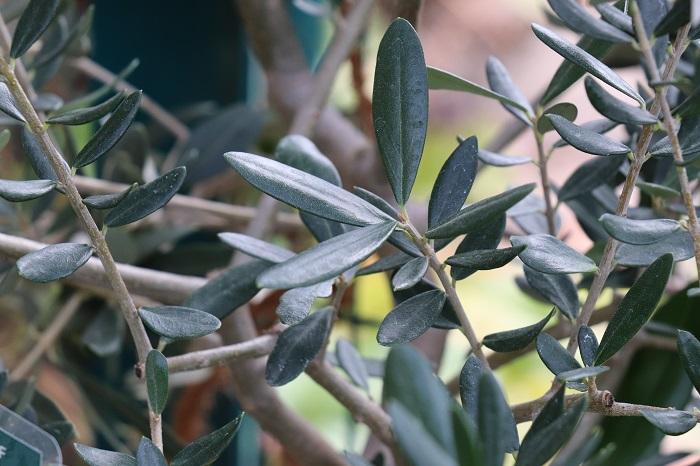 「フラントイオ」という品種のオリーブです。葉は槍形で、表面は光沢のある緑色、裏はグレーがかった緑色です。