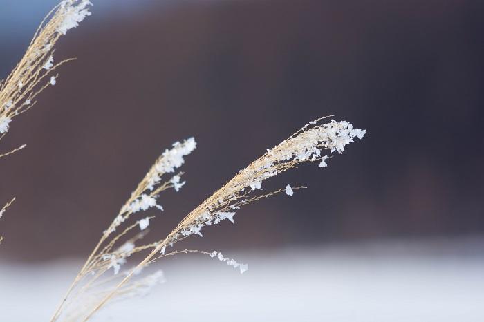 夜中に雨や雪が降った翌朝は、庭のススキを見に行ってください。ススキの穂についた細かな水滴が朝日に光る美しさは、見た者にしか語れない感動があります。  真冬の朝、ドライになったススキの穂に、薄っすらと積もった霜が輝いている様子も息をのむような美しさです。