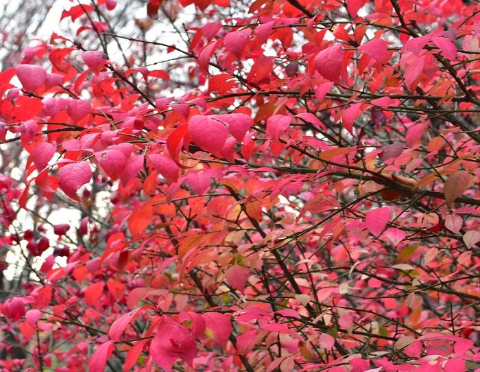 色鮮やかな紅葉から名前が付いたニシキギ。  写真は紅葉の始まりですが、最終的には枝全体が真っ赤に染まります。ニシキギの木のユニークな特徴は枝。茎が丸や四角でなく、茎の周囲にヒレでもついているような面白い形状をしています。機会があれば裸の木の時期のニシキギに注目してみてください。