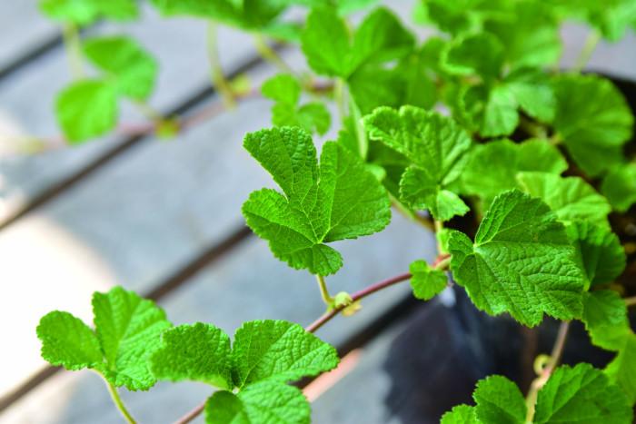 ルブス, Botapii, ボタピー, この植物をお買い, 土谷ますみ, 冬の寄せ植え, ピンクの花, かわいい寄せ植え