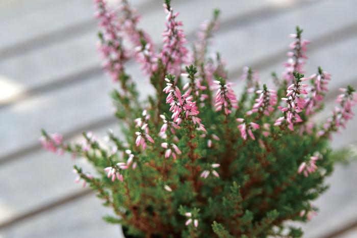 カルーナ, Botapii, ボタピー, この植物をお買い, 土谷ますみ, 冬の寄せ植え, ピンクの花, かわいい寄せ植え