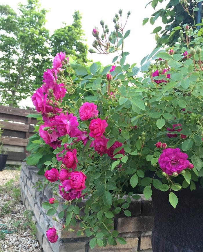 バラが好きです。キラっとしいて、どこにあっても存在感が伝わるような可憐さがたまりません。この写真は、香りが爽やかなスイートチャリオット(ミニバラ)四季咲きです。