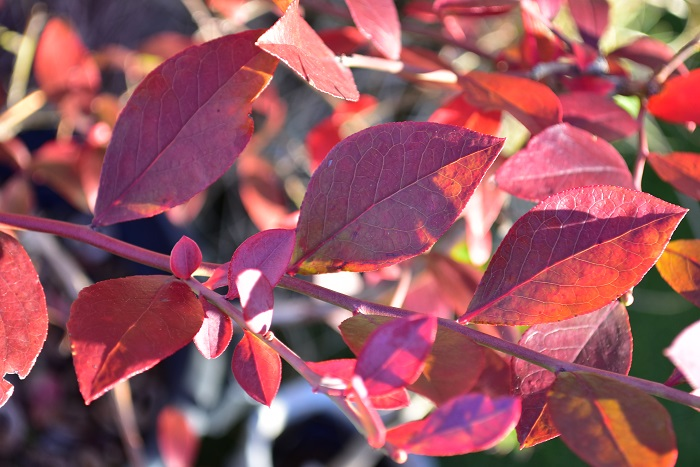 果樹として人気のブルーベリーですが、秋の紅葉の美しさも絶品です。グリーンの葉が少しずつ赤く染まり、最終的には真っ赤に紅葉します。ブルーベリーは、都内だと落葉するのがとても遅く、12月いっぱい紅葉した葉が残っている年もあります。