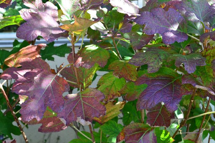 初夏にピラミッド型の花を咲かせるアジサイの仲間のカシワバアジサイは秋の紅葉もとても素敵です。