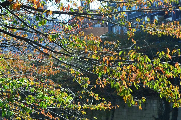 目黒川沿いの紅葉  お花見の時期はたくさんの人でにぎわう目黒川。春にひけをおとらず、秋の紅葉の目黒川もとても素敵でおすすめです。