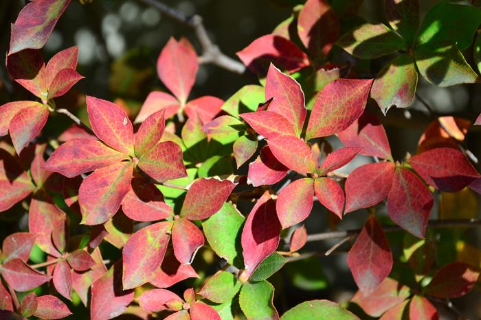 新緑や花も美しく、庭木としてや花屋さんでは枝もの花材として人気のドウダンツツジ。秋の紅葉も美しい花木です。こちらは紅葉の始まりのころ。緑から少しずつ鈍い赤に色づき始めます。