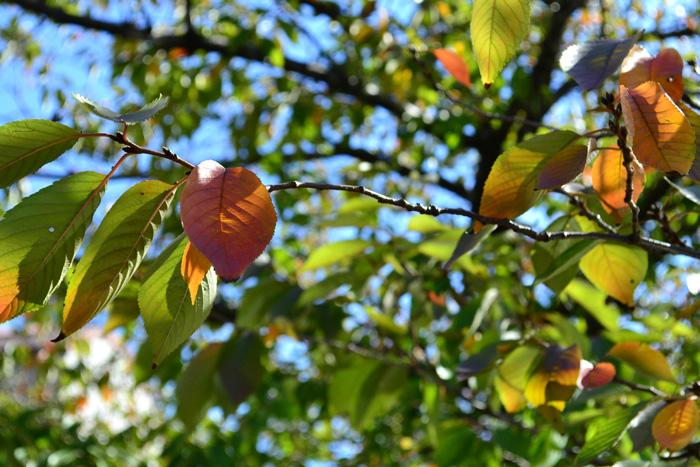 紅葉が始まったばかりの頃のソメイヨシノ