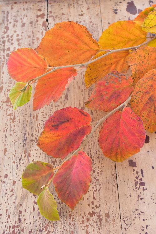 マンサクは山林をはじめ、東京都内の植物園でもよく植栽されている樹木です。葉脈がはっきりとしている葉っぱが、秋に緑~黄色~オレンジ~赤に美しく紅葉します。赤と言ってもモミジのようなはっきりとした赤ではなく、どこか優し気な赤に色づきます。