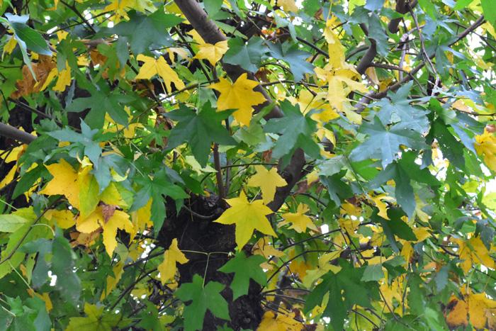 モミジバフウは街路樹などによく使われていて、東京都内だと環八通り沿いの世田谷付近の並木が紅葉の季節は見事です。モミジバフウという名前からするとモミジの仲間?と思ってしまいますが、モミジはカエデ科、モミジバフウはフウ科なので植物学的には違うグループです。  上の写真をご覧ください。モミジバフウは5つに分かれているものもあれば、7つに分かれているものある、葉によって若干個体差があります。カエデのような大きな葉っぱが、緑~黄色~オレンジ~赤~えんじ色に色づく過程はとても美しい光景です。