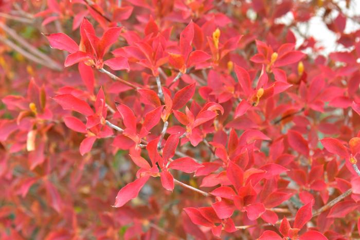 紅葉の後半。葉っぱは燃えるような真っ赤に染まり、最後はえんじ色になって落葉します。とても華やかな紅葉です。