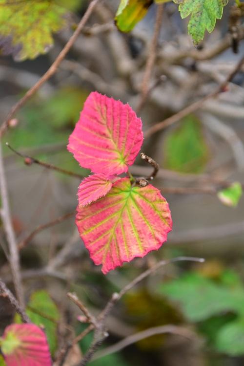 公園や川沿いの植栽など、いたるところに植栽されている低木のヒュウガミズキ。紅葉は黄色~ピンクがかった赤に色づきます。小さい葉っぱながら、はっきりとした葉脈が美しく色づく姿はとてもかわいらしいです。  ヒュウガミズキは、生け花の枝もの素材として人気がある花木です。落葉した枝に芽がついた状態の芽吹き枝が早春に流通しています。