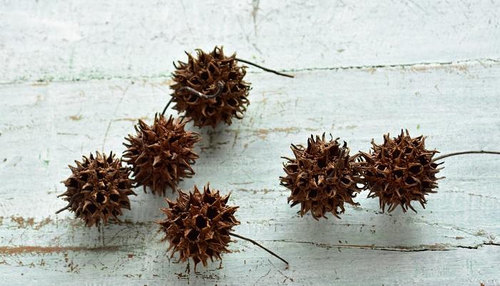 モミジバフウのもうひとつの魅力は木の実。形のユニークな実が秋から冬に実がなり、落葉後、しばらく実が木にぶら下がっていることもあります。モミジバフウの実はクリスマスの飾りとしてもとてもよく使われています。