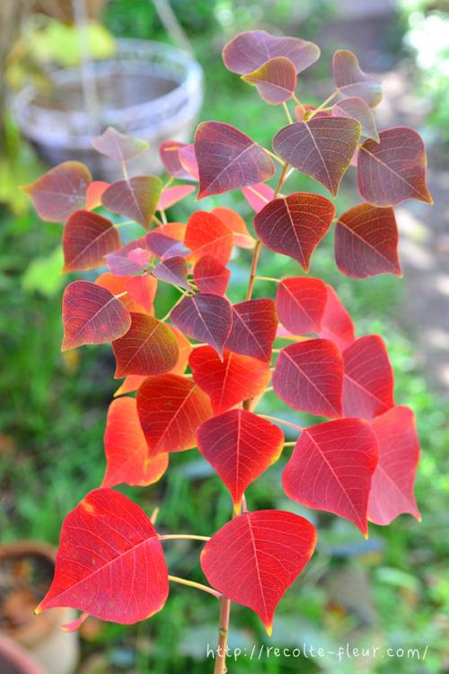 公園や街路樹にもよく使われるナンキンハゼ。  ハートの形のような丸い葉っぱのナンキンハゼは新緑も美しいですが、黄色、オレンジ~赤~えんじ色のグラデーションの紅葉の季節もとても華やか。  紅葉とともに、黒い皮がはじけて登場する白い実もかわいらしく、白い実つきのナンキンハゼの枝ものは、クリスマスの花材としても人気です。