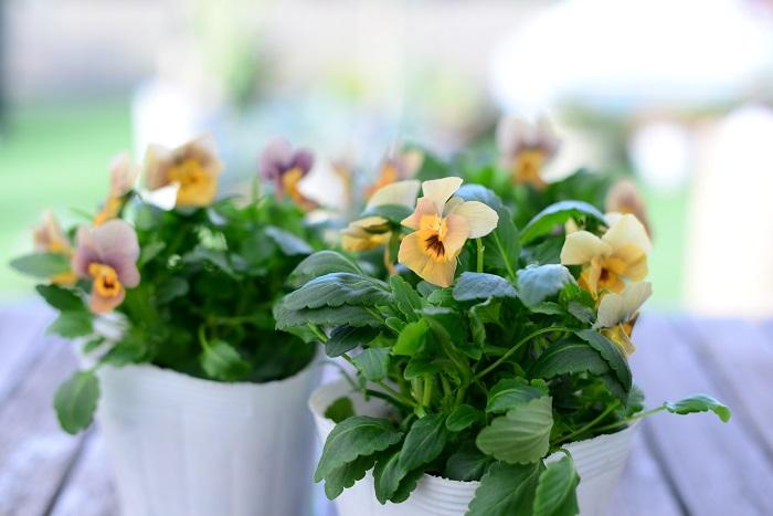 この苗を選んだ理由 寒さに強く9月~5月まで次々と花を咲かせるビオラは本当にかわいいですよね。花色も豊富なのでお好みの色が見つかるのではないでしょうか。今回は淡いアンティークカラーのビオラを選びました。写真のように、葉っぱがきれいな緑色で株がしっかりしているものを選びましょう。徒長して株元がぐらついていたり、葉が黄色いような苗は良くありません。  育て方のコツ 日なたと水はけのよい用土を好みます。花がらを摘み、次の花をどんどん咲かせましょう。定期的に追肥します。