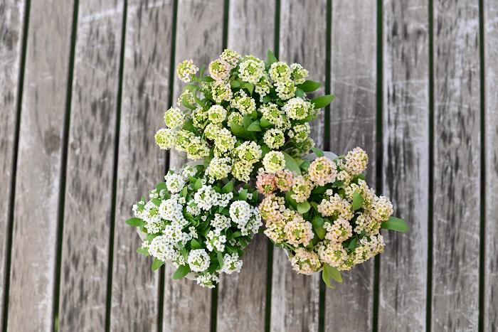 この苗を選んだ理由 寒さに強く10月~5月まで楽しめます。今回はペールトーンで合わせるため、白と、淡いイエロー、淡いオレンジ系を選びました。クッション状に広がるのでリースを作るのに最適です。花は良い香りがします。  育て方のコツ 日なたと水はけのよい用土を好みます。花後に刈り込み、追肥すると再び開花します。