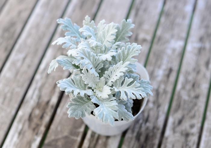 この苗を選んだ理由 シルバーリーフの1つ目として、寒さに強く、ふわふわした感触が冬にぴったりなシロタエギクを選びました。株分けして使います。  育て方のコツ 日なたと水はけのよい用土を好みます。蒸れに注意すれば夏越しもできます。古株になると葉色が悪くなるので、切り戻して枝を更新させて新しい葉を楽しみましょう。