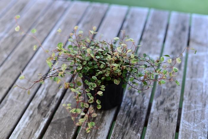 この苗を選んだ理由 シルバーリーフに加えて、ニュアンスカラーのリーフを繊細にちりばめたく思い、斑入りのワイヤープランツを選びました。こちらも、株分けして何ヵ所かに植えます。  育て方のコツ 日なたから半日陰の場所を好みます。乾燥に弱い性質です。