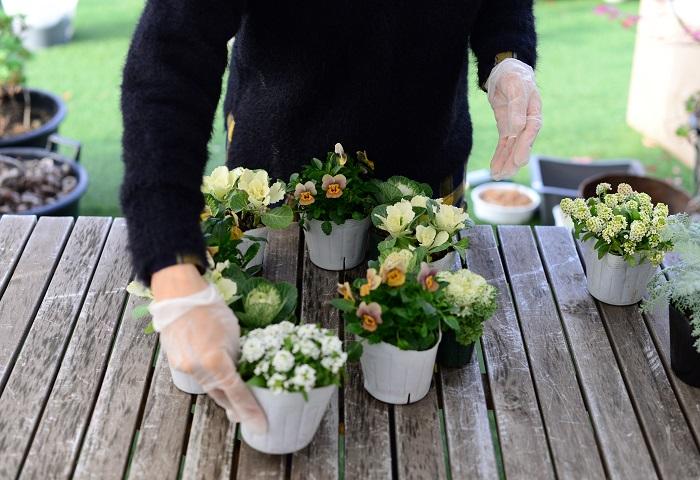今回のリースのテーマは「クリスマスにもお正月にも、そして春まで楽しめる」です。  ホワイトクリスマスなイメージで、白やクリーム系、シルバーなどの淡い色合いの草花だけを集めてみました。和の雰囲気が強いハボタンも、クリームイエロー系をセレクトすると、クリスマスもお正月もオシャレに飾ることができるのでおすすめです。  寒い季節は植物の生長がゆっくりなので、リースの美しい形がくずれにくく、暖かくなる春まで長い間楽しめます。