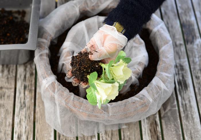ハボタンの根をくずして、土の部分を小さくします。