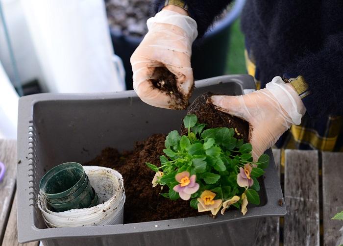 ビオラも、底の部分の土は取り除き、土の部分を小さくしてから植えていきます。