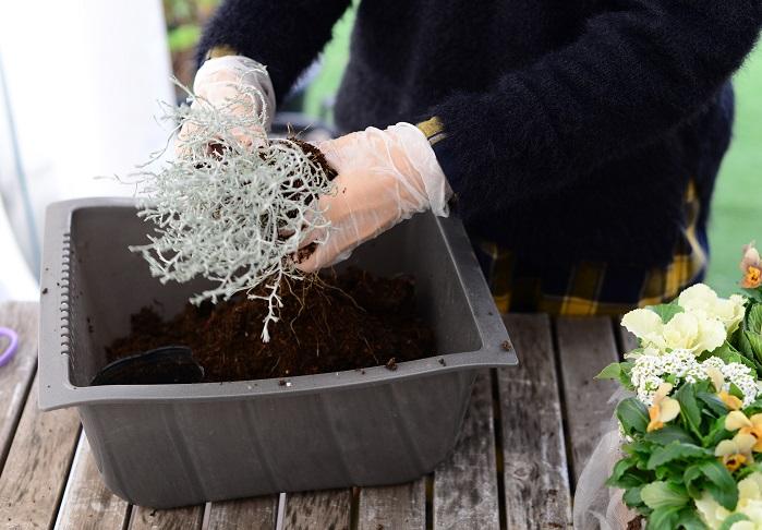 クッションブッシュの株分けは少し難しいかもしれませんが、土の部分を両手で持ち、優しくもみほぐして根っこが分かれているところを探していきます。