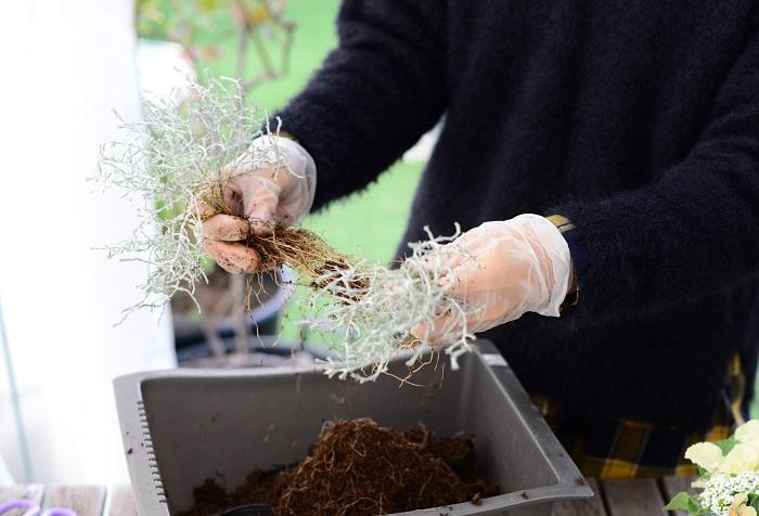 細かい根が絡みあっっていて、しかも土がどんどん落ちてしまうのですが、スピーディーに株分けし、植える位置を決めてすぐに植えて落ち着かせてあげます。根っこがむき出しの状態でそのまま放置したりしなければ、枯れてしまうことはありませんので挑戦してみてくださいね。