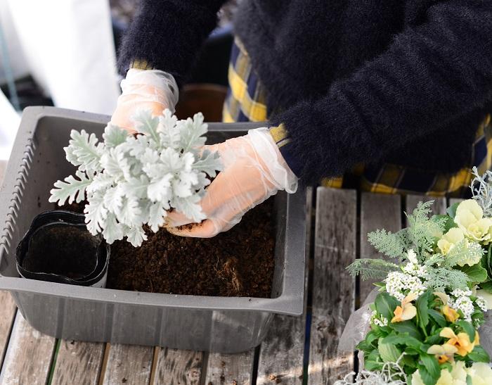 シロタエギクも、根が分かれやすいところを見つけて株分けして隙間にバランスよく植えていきます。