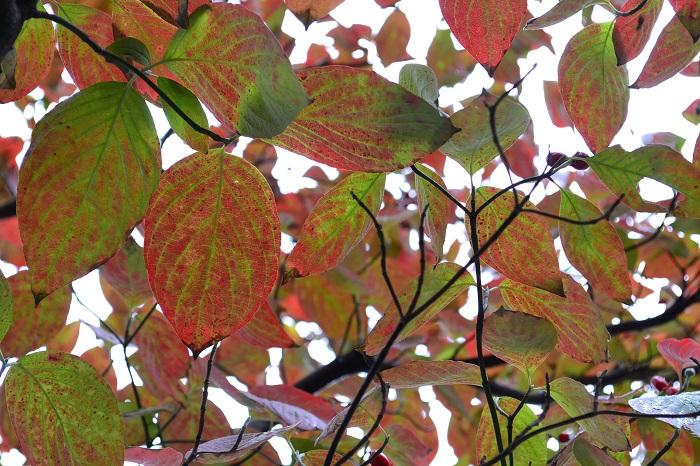葉の葉脈がうっすらと浮き上がるハナミズキの紅葉。木の下で葉の裏の色合いを眺めるのもおすすめ。