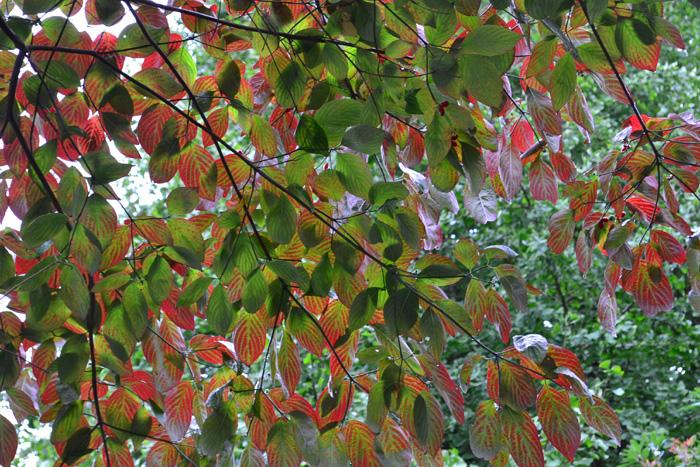 木々の中ではいち早く紅葉が始まるハナミズキ。個人宅のシンボルツリーから、街路樹にもとてもよく使われている木です。ハナミズキと言えば初夏の花の季節が人気ですが、紅葉もとってもきれいです。葉っぱの色づきは、他の樹木よりもいち早く色づき始め、都内だと11月後半になると落葉します。裸の木になるのが一番早い樹木のひとつです。