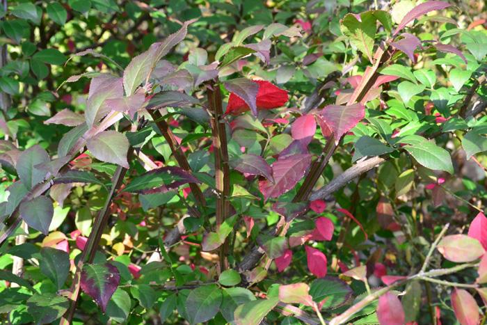 色鮮やかな紅葉から名前が付いたニシキギ。  写真は紅葉の始まりですが、最終的には枝全体が真っ赤に染まります。ニシキギの木のユニークな特徴は枝。茎が丸や四角でなく、茎の周囲にヒレでもついているような面白い形状をしています。機会があれば裸の木の時のニシキギに注目してみてください。