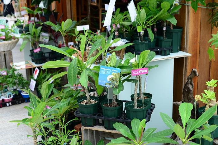 オーナーがハワイが好きで植物の取り扱いも始めたそう。プルメリアだけではなく、オーナーこだわりの実は日本でも育てられるハワイの変わった植物を楽しむことができます。