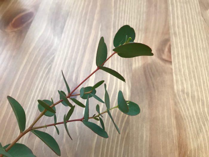 ユーカリは、個性的な葉の形やスッキリとした清涼感ある香りが人気の、オーストラリア南東部と南西部原産の常緑高木です。  ユーカリは、品種も多く800種類以上はあると言われ、葉の形もさまざまで、香りも品種によって色々な香りを楽しむ事が出来ます。その香りはレモンやリンゴの様なフルーツの香りに似たユーカリもあれば、ミントに似た爽やかな香りのものまで、幅広く様々な香りを楽しむ事が出来ます。オーストラリアの原住民であるアボリジニにはユーカリの葉や樹皮に薬効があると言われ、色々な用途に使われ暮らしの中で役立てていたようです。私たちの暮らしの中でもユーカリのアロマオイルは親しまれ、殺菌作用や抗菌作用がある事から、お部屋の臭い消しや虫よけ、スッキリした清々しい香りは集中力を高めたり、気分をリフレッシュする為に使われ人気のハーブです。  また、個性的な葉の形と色はどんなインテリアにも良く似合い、鉢植えでも人気の樹木です。