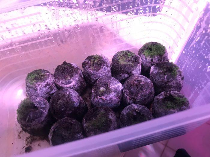 フィジーに撒いたビカクシダ・ウィリンキーの胞子は、水苔よりも3週間後に発芽したのですが、その後の生育は水苔のビカクシダよりも速く、グリーンも鮮やかです。
