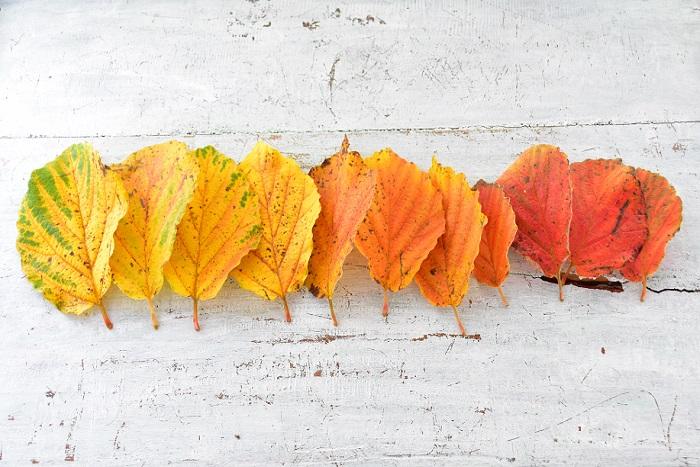 紅葉は落葉樹のシーズン最後のお祭りのような華やかなひととき。昨日と今日では色がどんどん変化するのも魅力のひとつです。  遠くに出かけなくても、意外と近所に紅葉スポットはあるもの。季節一瞬の華やかな葉っぱの彩を探しにお散歩してみませんか?