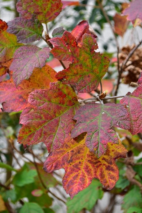 カシワバアジサイ  植栽する環境の日当たりによって、紅葉の色も少し違いますが、カシワバアジサイの紅葉はシックな色合いの紅葉です。大きな柏の葉に似た葉の全体が微妙な色合いに色づくと、庭ではとても目を引き、花のない秋もとても存在感があります。