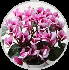 冬の三大植物 - シクラメン