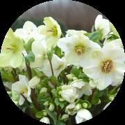 氷の薔薇 ホワイト 写真