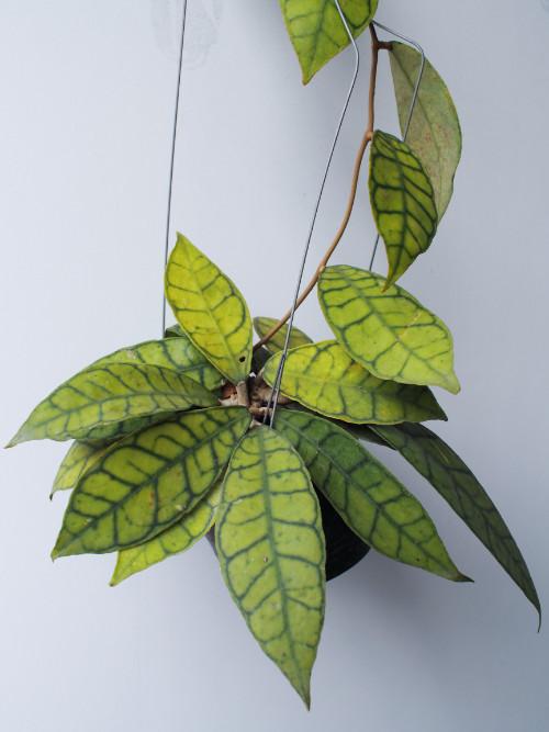 ボルネオ島原産。緑色の葉にはくっきりとした黒い脈模様があり、花が咲かずともその美しい見た目で楽しめます。