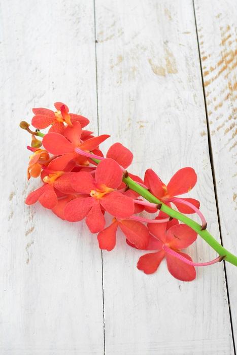 モカラ  モカラの花はランの中では丸めの形が特徴です。