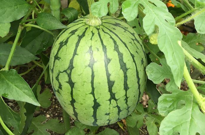 どんな野菜の収穫も心がワクワクします!スーパーで購入することしかできなかった野菜が、自分が育てた場所でたわわに実っているのですから。こんなに立派に育つものなのかと、誰かに伝えて思わず自慢してみたいそんな気持ちの高まりを覚えます。しかも、実際に育てた人しか味わえないうれしい収穫の醍醐味が3つもあるんです。