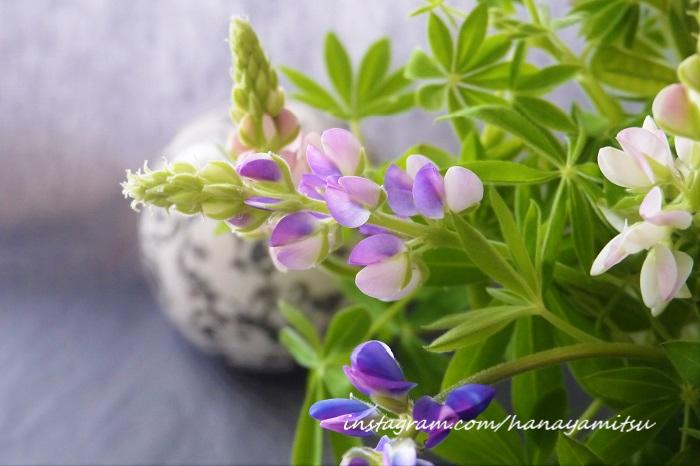 切り花で出回っているものの多くは、ピクシーデライトやカサバルピナスなどの小型種です。茎が華奢なこの種類は、最初に水を吸わせるときの姿勢でその姿に変化をつけられます。水が落ちた状態から一気に吸わせる「水上げ」で使える技です。  水を張ったバケツに、花の先端まで新聞などで包み真直ぐに立てて水を吸わせれば、花穂は頭頂を真直ぐ上に向けます。ちょっと花穂の先端に変化をつけたい場合は、大きな洗面器などに水を張って、花を器に対して寝かすように横向きにセットします。そのまま一気に水を吸わせることで、花穂の先端だけがくるんと上を向く可愛い姿が出来上がります。