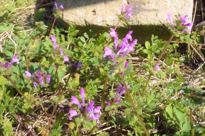 「ホトケノザ」と言えば春の七草です。春の七草は「セリ・ナズナ・ゴギョウ・ハコベラ・ホトケノザ・スズナ・スズシロ」でお馴染みですよね。春の七草と言えば、即座に七草粥を連想する方も多いのではないでしょうか。ところが、ここに危険なトラップがあるんです。この春の七草に含まれる「ホトケノザ」は、同じ名前の別な植物のことを指しています。道端に生えているホトケノザは食用にはなりません。うっかり食べてしまわないように気をつけてください。但し、絶対に食べてはいけないほどの毒性があるわけではありません。食用には向かない、という話です。