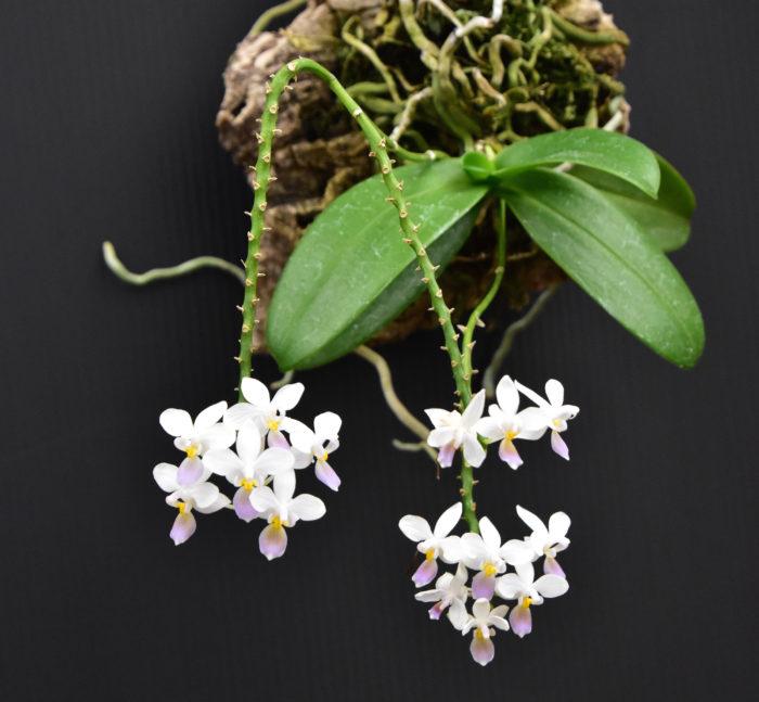 特集のはじめに掲載されているランのカタログは福岡にある、たかしまえんさんにお邪魔し、撮影させていただきました。ランと言うと贈答用の胡蝶蘭のイメージが強いかと思いますが、多種多様なランの世界にはとっても面白く、素敵な花を咲かせるランがたくさんあるのです。  こちらの写真はファレノプシス・エクエストリス・セルレア。小さな薄紫の花がいくつも咲く姿はとても愛らしいです。